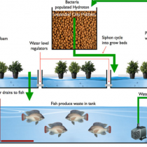 Hệ thống nuôi cá, trồng cây (Aquaponics)